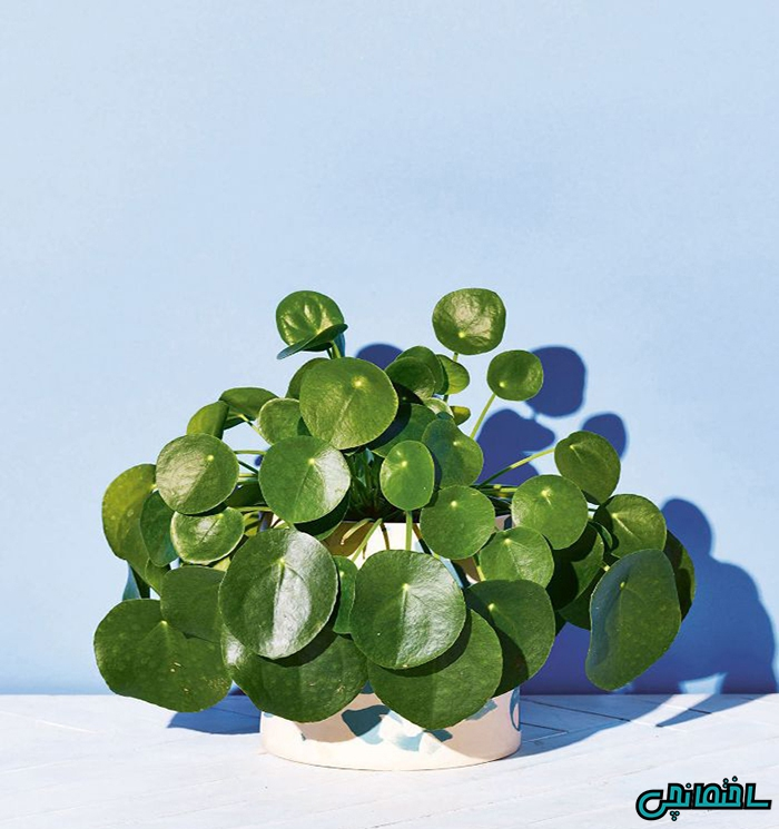 گیاه پول چینی
