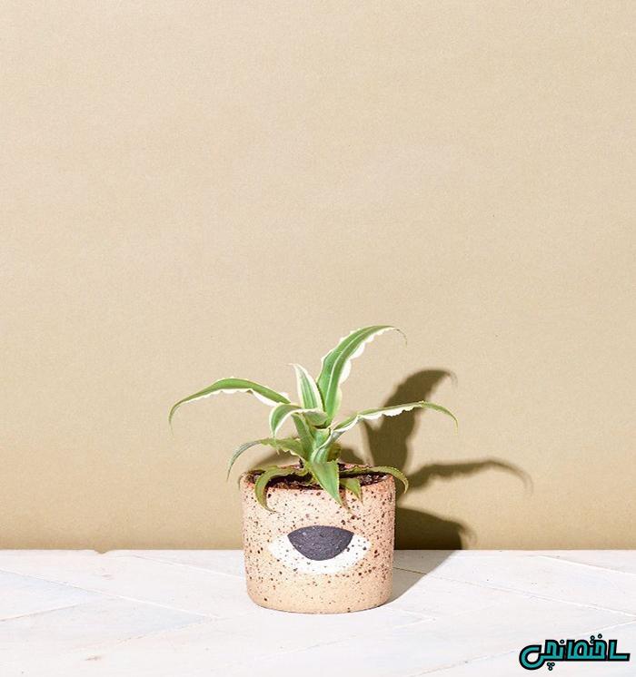 گیاه ستاره زمینی