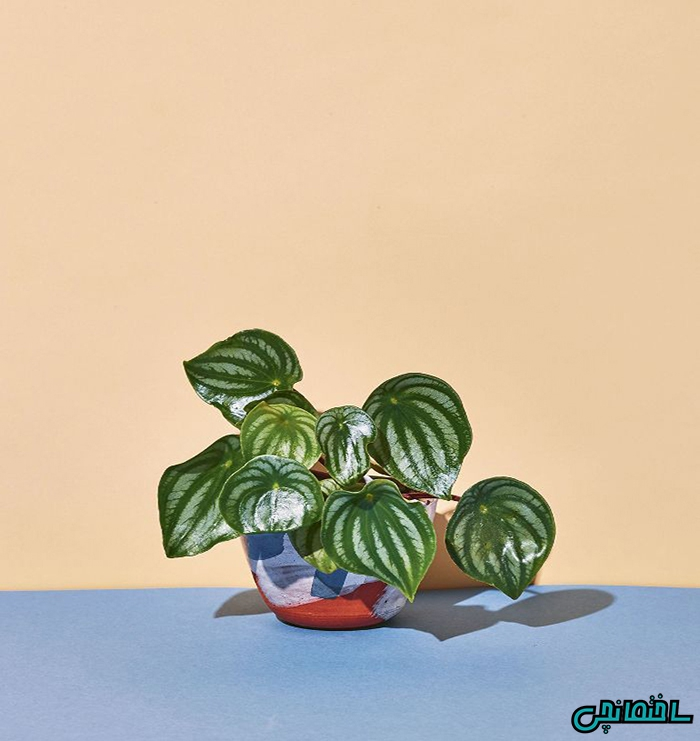 گیاه بگونیا هندوانه ای