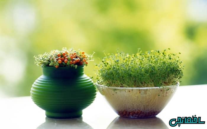 کاشت سبزه عید با عدس